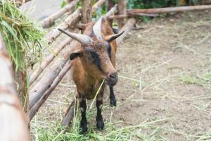 W miasteczku na Sycylii koza pracuje jako ogrodnik