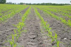 Plonowanie odmian średnio wczesnych na ziarno w wynikach PDO