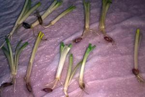 Stan zbóż ozimych – kilka optymistycznych sygnałów