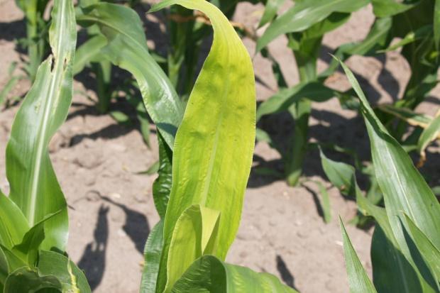 Cynk − niedoceniany mikroskładnik,  którego niedobór ogranicza plonowanie kukurydzy!