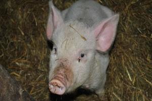 UE: Spokój na rynku świń rzeźnych w UE