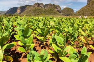 Kuba: Pogoda i słabe zbiory przyczynami kłopotów w produkcji cygar