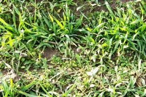 Ostrożnie z ograniczaniem dawek herbicydów