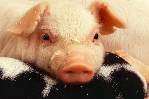 Jak w 2016 roku zmieniło się pogłowie świń na świecie?