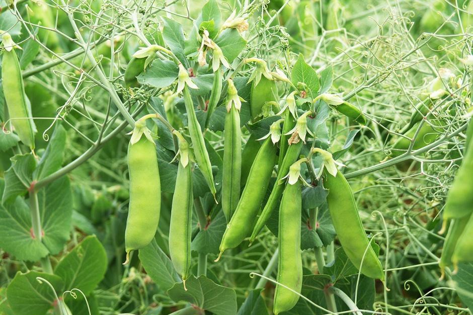 Doglebowe płynne szczepionki Rhizobium dla roślin bobowatych
