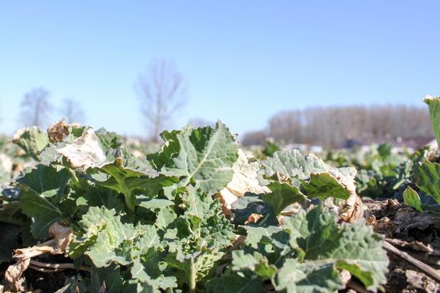 Pierwszy wiosenny zabieg fungicydowy w rzepaku