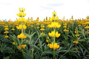Tanieje materiał siewny strączkowych, cenę trzyma łubin żółty