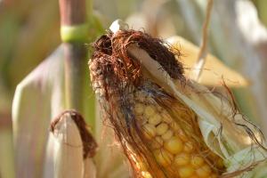 Fuzarioza w kukurydzy – dobór odmian ma znaczenie