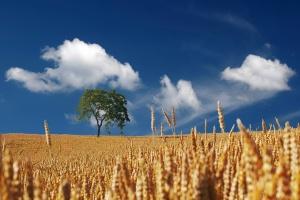 USDA: Wzrost prognozy światowej produkcji pszenicy