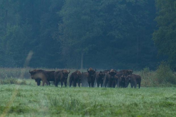 Podlaskie: Ok. 300 tys. zł rocznie na dzierżawy łąk dla żubrów