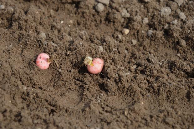 Głębokość siewu nasion strączkowych