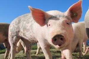 Rusza pomoc dla producentów mleka i świń