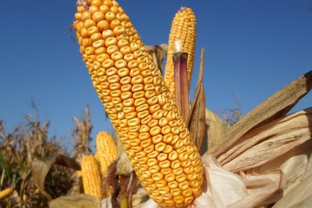 Po raz pierwszy stworzono LOZ dla kukurydzy