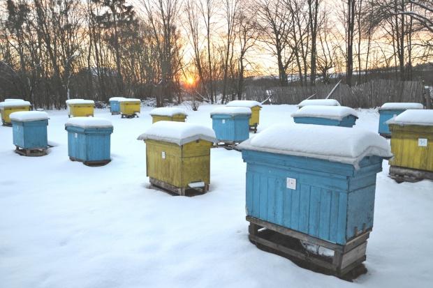 Podkarpackie: Zimą wyginęło blisko 30 proc. pszczół