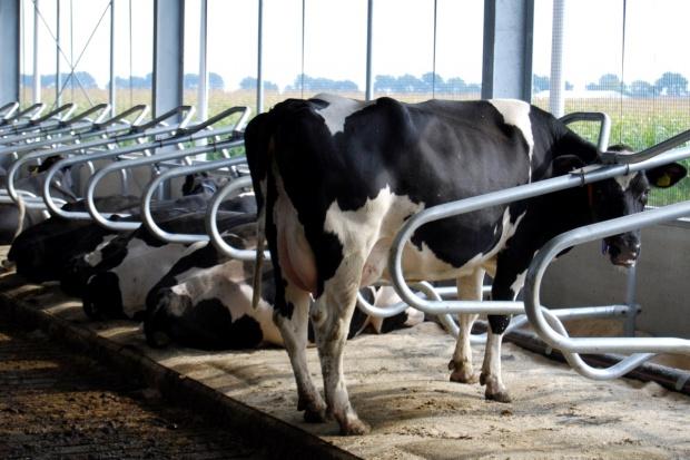 Komfort krowy na legowisku jest priorytetem