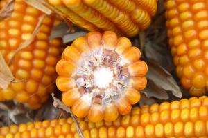 Plonowanie ziarnowych średnio późnych odmian kukurydzy w doświadczeniach PDO