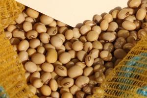 Soja – krótki przegląd odmian