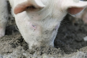 KZP-PTCh – duży popyt na wieprzowinę ze strony Chin potrwa do 2025 roku