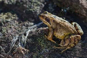 Bieszczady: Żaby trawne rozpoczęły wędrówki godowe