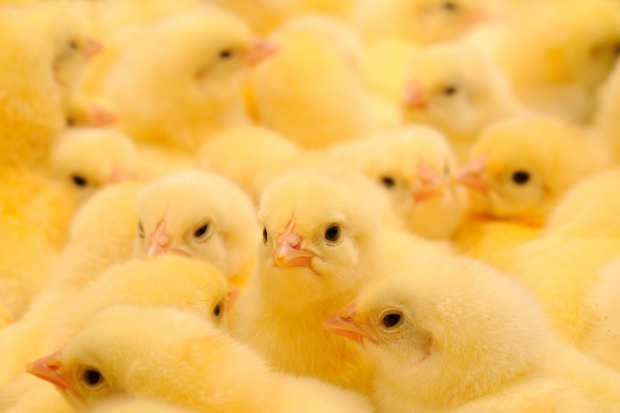 Japonia: 280 tys. kurczaków zostanie wybitych z powodu ptasiej grypy