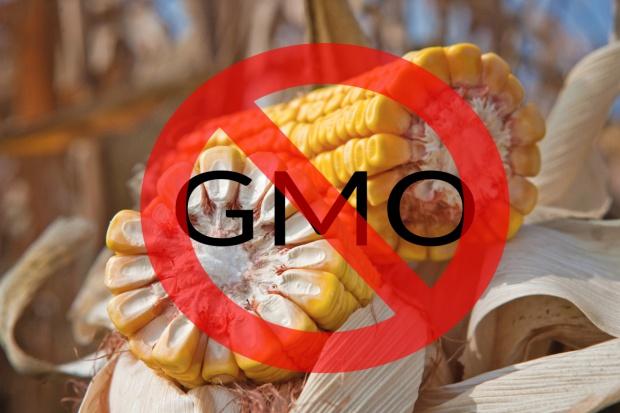 W UE opór ws. autoryzacji kukurydzy GMO; decyzję podejmie KE