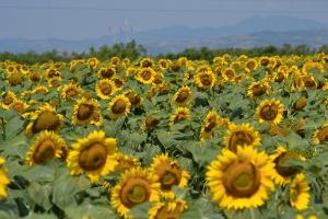 Ukraina oczekuje rekordu w eksporcie oleju słonecznikowego w sezonie 2016/2017