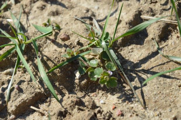 Herbicyd w przerzedzone plantacje ozimin