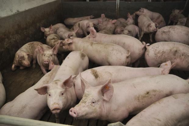 Świnie drożeją również w krajowych skupach