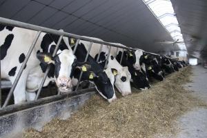 Chorobę krowy zdiagnozuje urządzenie