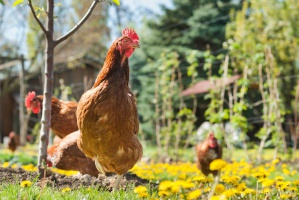 MRiRW: Grypa ptaków - od dziś złagodzenie ograniczeń