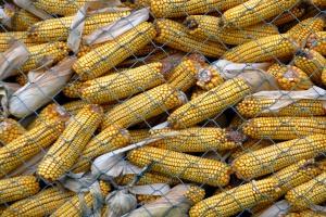 FAO: Światowa produkcja zbóż lekko spadnie w 2017 r.
