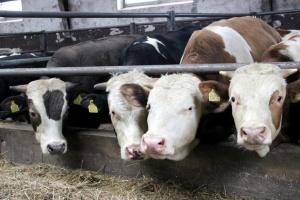 Sejmowa komisja rolnictwa o bydle mięsnym