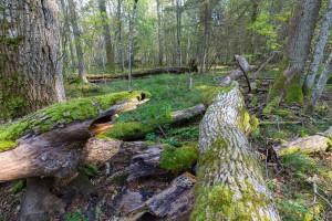 MŚ: W kwietniu nasadzenia drzew i cięcia sanitarne w Puszczy Białowieskiej