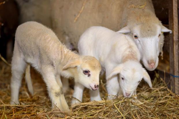 Hodowcy owiec z Podhala chcą interwencyjnego skupu jagniąt