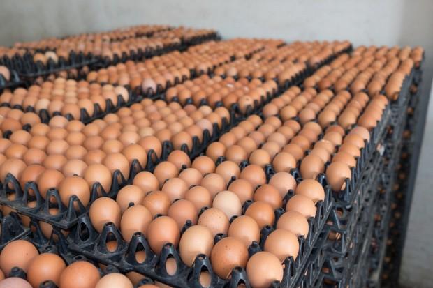 GUS: W 2016 r. kura nioska zniosła średnio 219 jaj