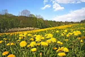 Podlaskie: Rolnicy chcą oddać w dzierżawę łąki, by mogły z nich korzystać żubry