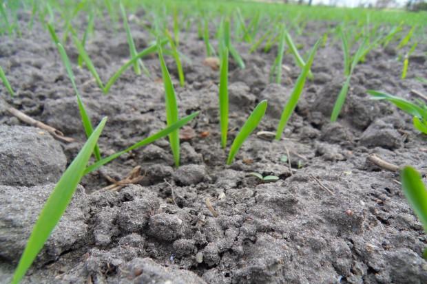 Odchwaszczanie zbóż jarych w warunkach chłodnej wiosny