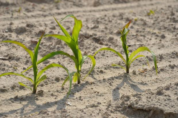 Rola i dostępność manganu w roślinie
