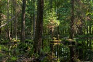 Szyszko: Ruszyła regeneracja siedlisk w Puszczy Białowieskiej