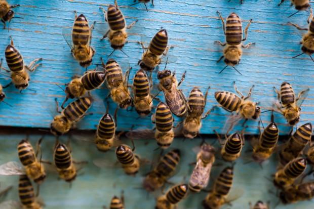 Dolnośląskie: W kotlinie jeleniogórskiej masowo wyginęły rodziny pszczele