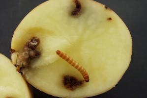 Zagrożenie szkodnikami glebowymi w ziemniaku