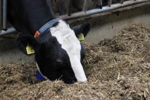 Mleko bez GMO – rewolucja w żywieniu krów