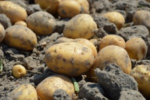 UE: Coraz więcej areałów pod uprawę ziemniaka