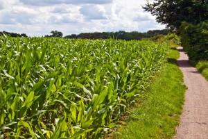 Niemcy: Lekki spadek areału uprawy kukurydzy