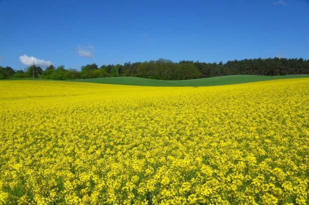 Ukraina spodziewa się wzrostu produkcji rzepaku