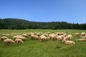 W Bieszczadach zakończył się nieco spóźniony redyk owiec