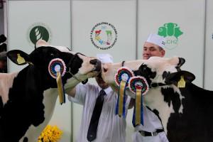W Poznaniu wybrano elitę bydła mlecznego (galeria)