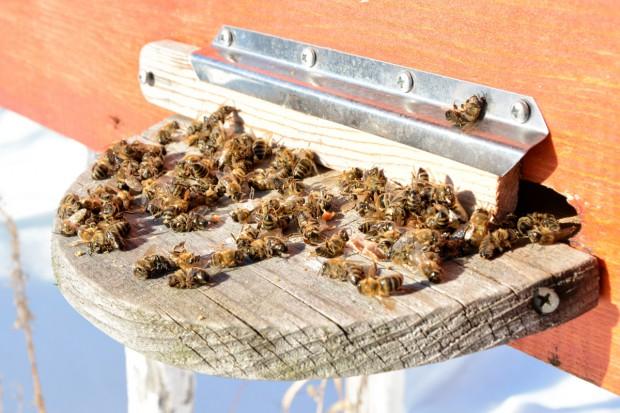 Ekolodzy i pszczelarze chcą zakazu stosowania pestycydów szkodzących pszczołom