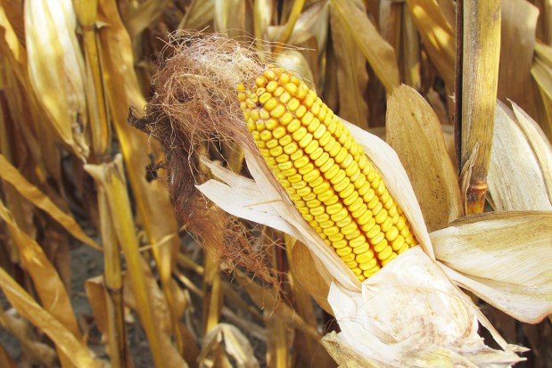 Efekt łącznego stosowania cynku i herbicydów w kukurydzy