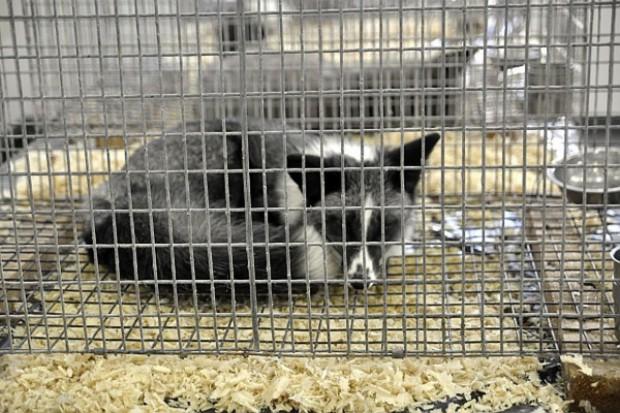 Estoński parlament opowiedział się za hodowlą zwierząt futerkowych
